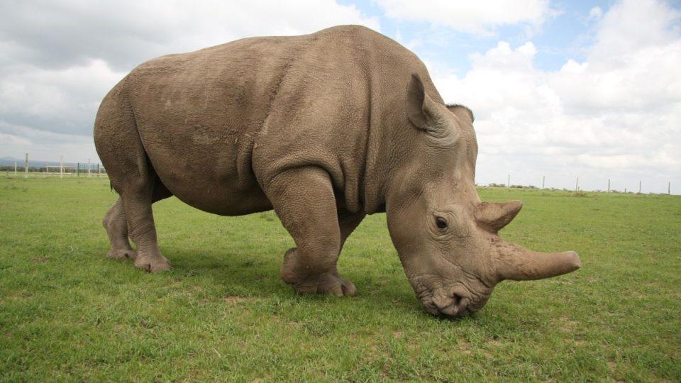 Nosorožec Fatu v Keni v roce 2017