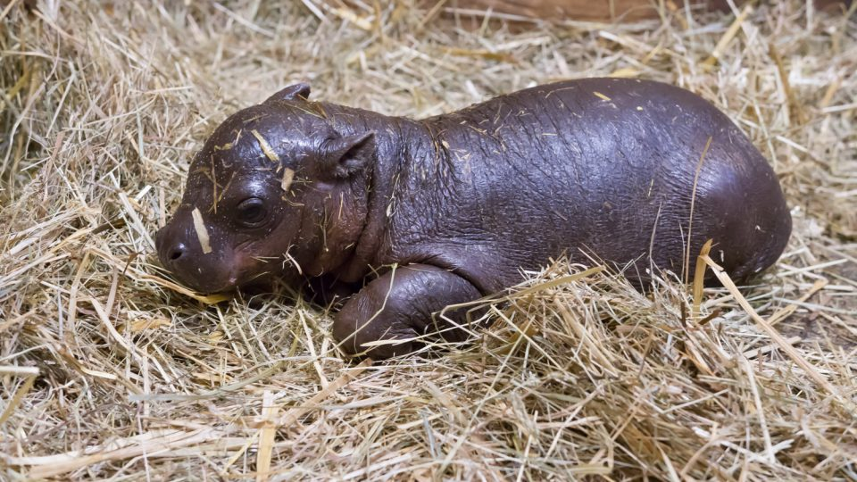 Šestiletá samice hrošíka liberijského Malaya porodila 25. února zdravé mládě