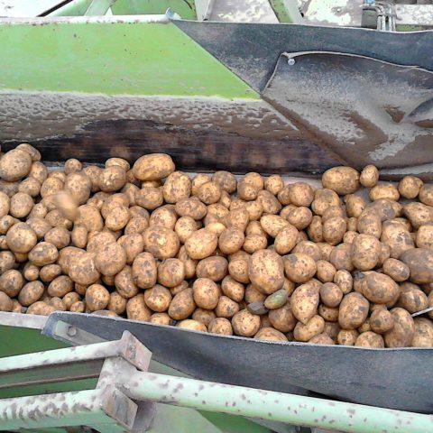 Sklizeň brambor Partutovice