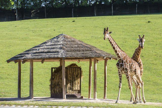Žirafy v Safari Parku Dvůr Králové