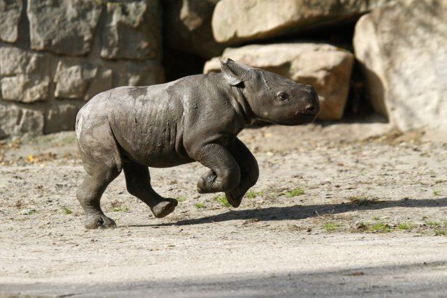 Mládě nosorožce v ZOO Dvůr Králové