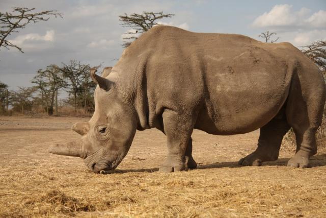 Nosorožec Najin