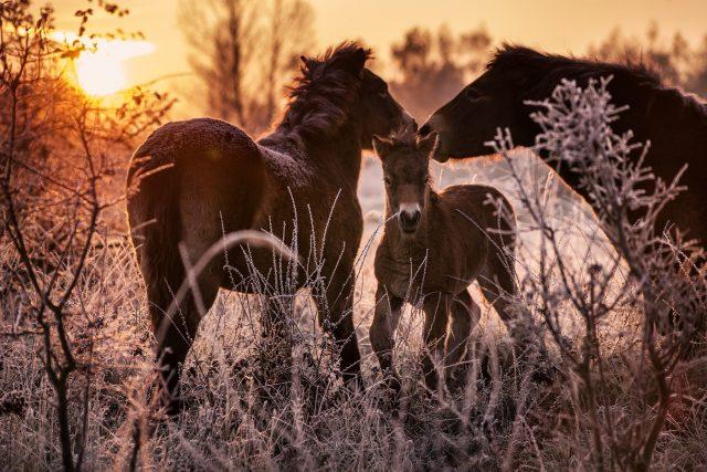 Divocí exmoorští koně budou v Ptačím parku Josefovské louky