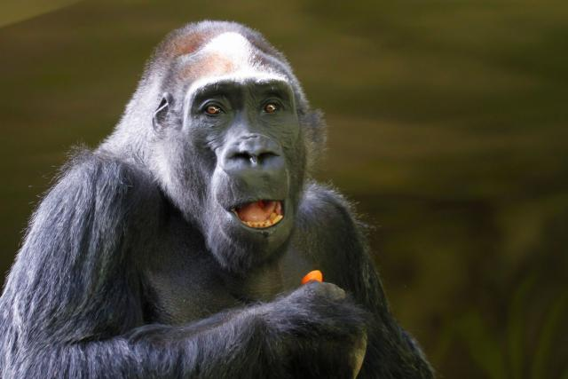 Gorilí samec Tadao | foto: Simona Jiřičková