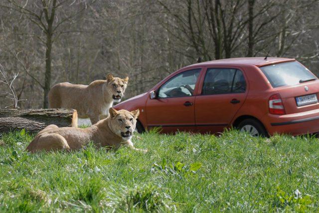 Lvice Khalila a Tessy jsou novou chloubou královédvorského Lvího safari | foto: Safari Park Dvůr Králové nad Labem