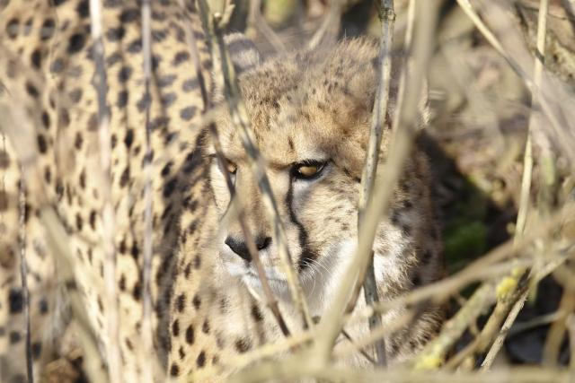 Gepardi v Safari Parku Dvůr Králové