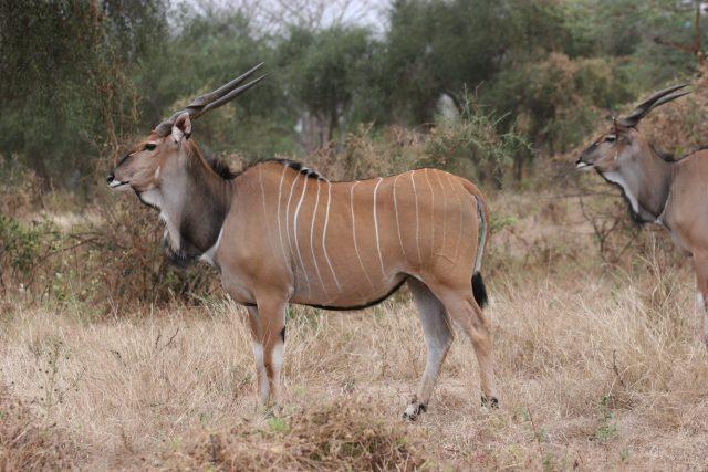 antilopa Derbyho z rezervace Bandia