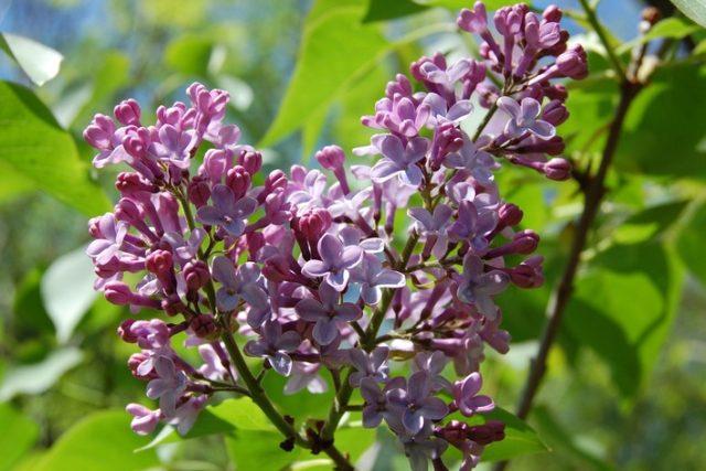 Květy šeříku obecného