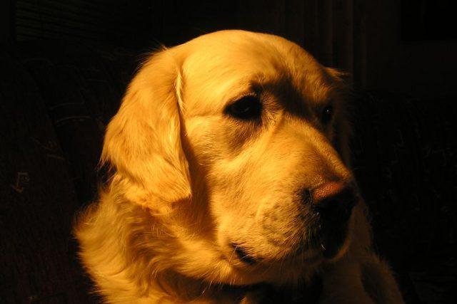 Jako vodicí nebo asistenční psi se často používají například zlatí retrívři