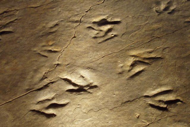 Eubrontes. Tak označují vědci  tříprsté stopy neznámého dravého dinosaura ze svrchního triasu, zřejmě příbuzného rodu Dilophosaurus. Podobná stopa byla v 90. letech minulého století objevena i na našem území (u Červeného Kostelce).