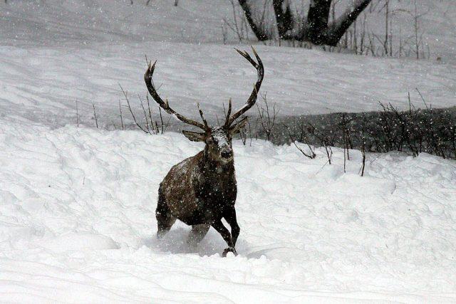 Jelen se brodí sněhem v Národním parku Šumava