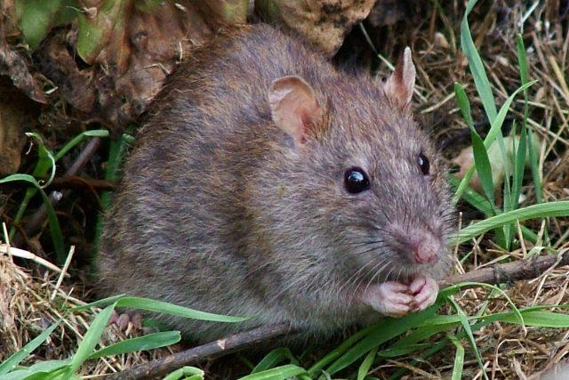 Potkan obecný   foto: Reg Mckenna,   CC BY 2.0