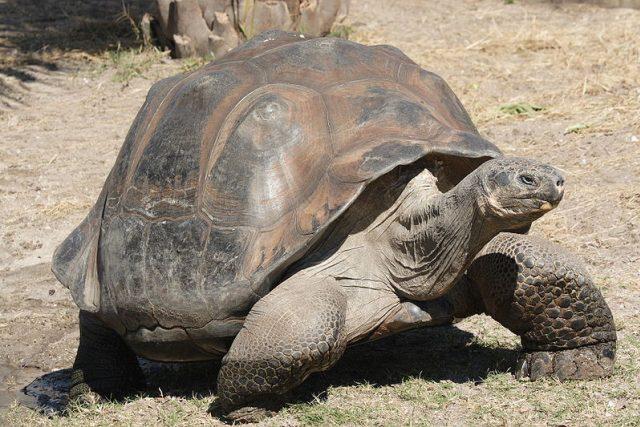 Obří galapážská želva Geochelone elephantopus