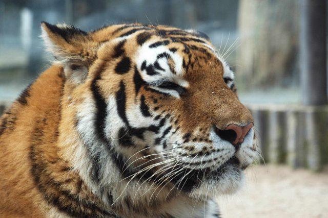 Nina - samice tygra ussurijského