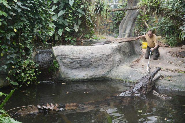 RNDr. Pavel Moucha krmí největšího krokodýla žijícího v zajetí v ČR - Krakena