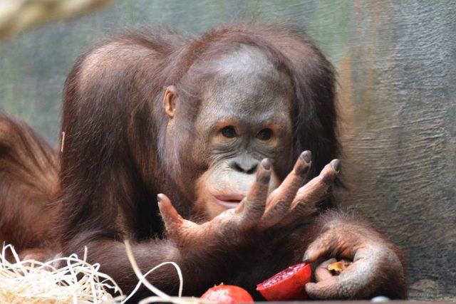 Orangutan Besar v ZOO Dvůr Králové nad Labem
