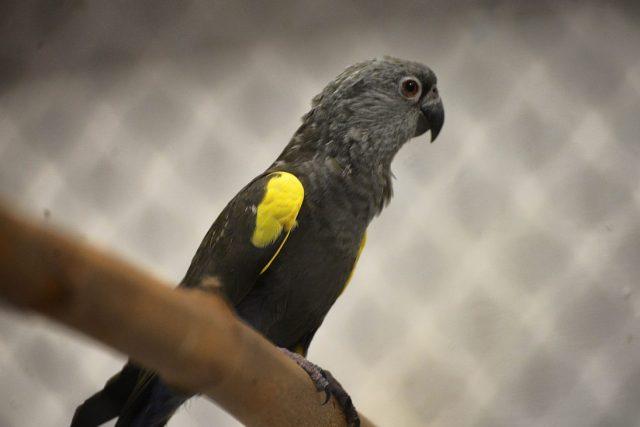 Papoušek hnědý