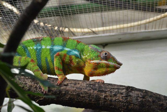 Chameleoni v ZOO Dvůr Králové nad Labem