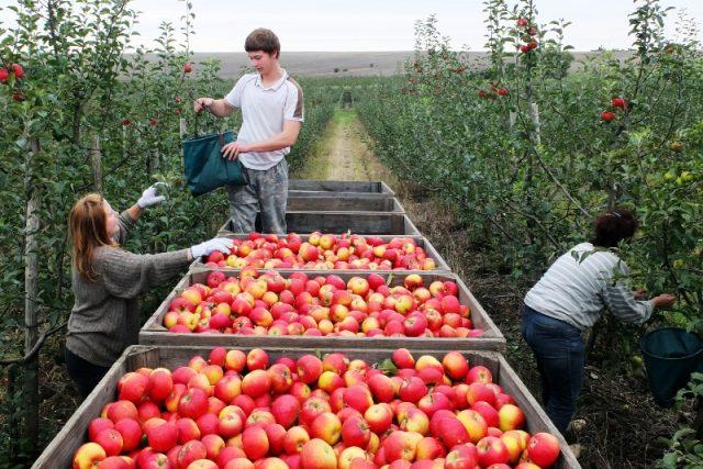 Sklizeň jablek v Ploskovicích
