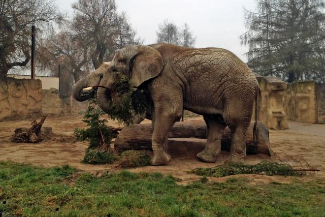 Slon v královéhradecké zoo si pochutnává na vánočním smrčku