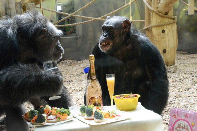 Šimpanzi si užívají