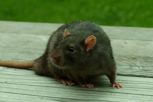 Potkan   foto: Kateřina Rážová