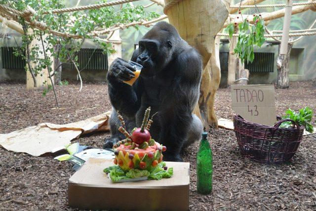 Gorila s nejhezčím pohledem - Tadao oslavil 43. narozeniny | foto: Jana Myslivečková