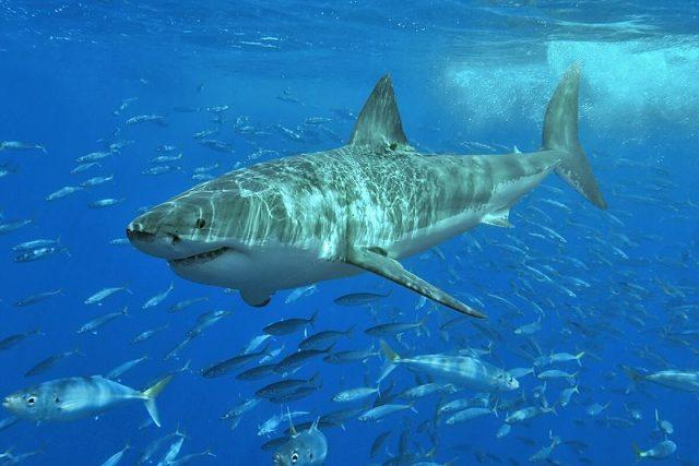 Žralok bílý | foto:  Wikipedia,  GNU General Public License,  verze 1.2