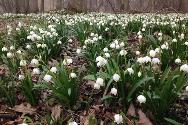 V Litovelském Pomoraví v těchto dnech narazíte na tisíce sněženek a bledulí