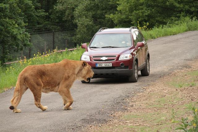 Lví Safari v ZOO Dvůr Králové nad Labem
