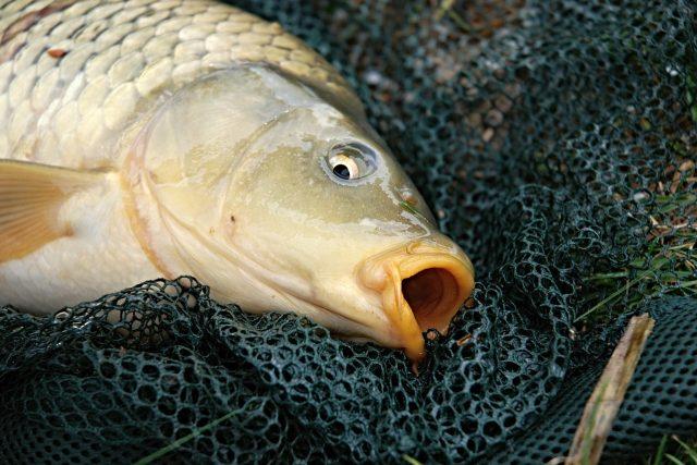 Ryba, kapr (ilustrační foto)