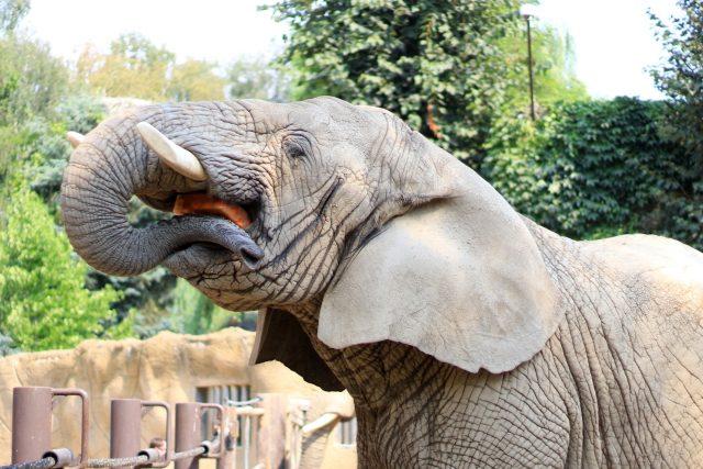 Houslista Pavel Šporcl zahrál slonům k jejich světovému svátku | foto: Simona Jiřičková