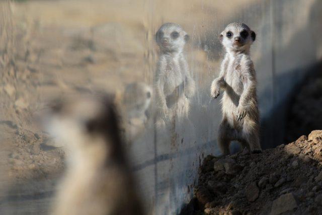 Novým přírůstkům ve výběhu surikat v ZOO Dvůr Králové nad Labem koluje v žilách africká krev! Samec Frank pochází z Jihoafrické republiky