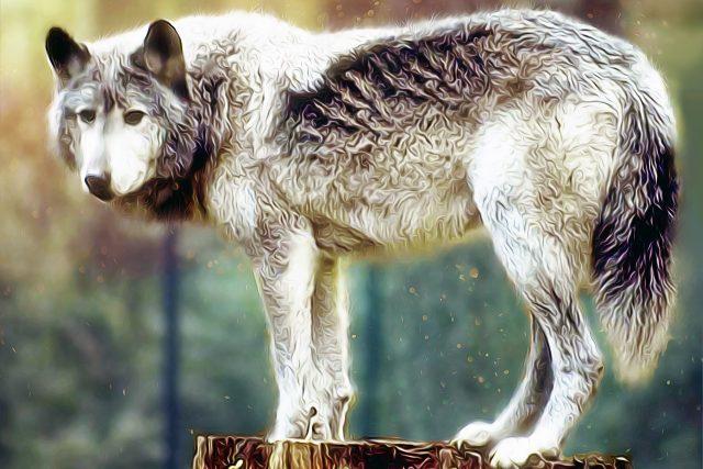 Vlk | foto: Fotobanka Pixabay