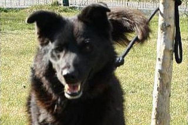 Čertík je nejdéle drženým psem v hradeckém psím útulku, Najdeme pro něj nový domov?