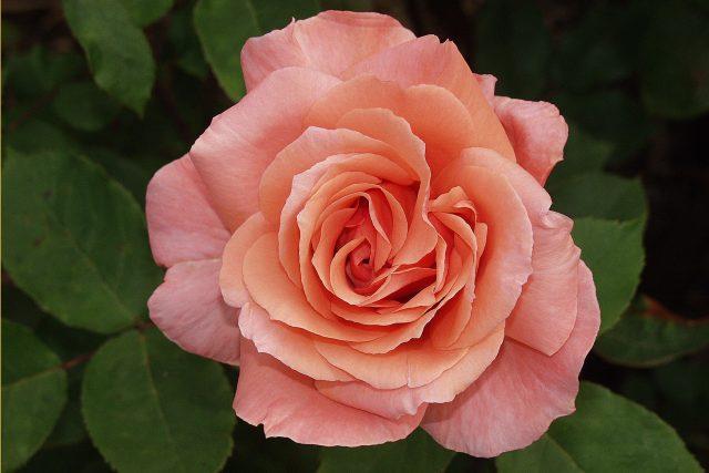 Růže | foto: Fotobanka Pixabay