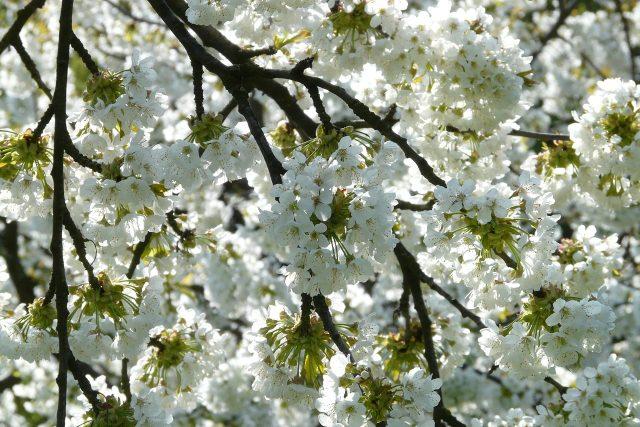 Kvetoucí stromy (ilustrační foto)