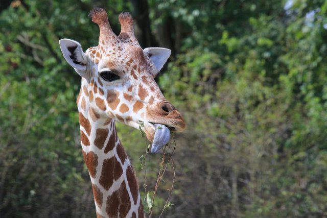 Královédvorská ZOO chová 32 žiraf | foto: Simona Jiřičková
