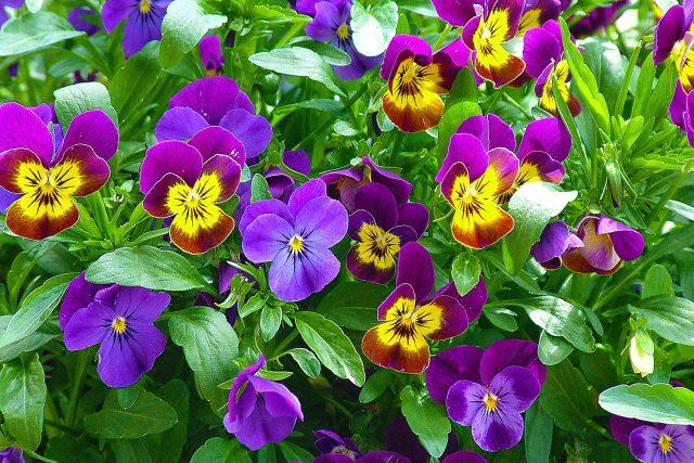 Ne všechny květiny chladné teploty zvládnou. Macečky ano  (ilustrační foto) | foto: Fotobanka Pixabay