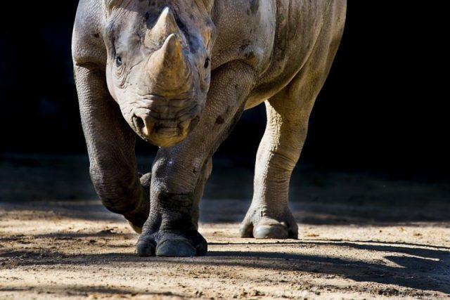 ZOO Dvůr Králové posílá dalšího nosorožce do Afriky. Eliška vyrazí na cestu | foto: Lukáš Pavlačík