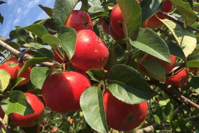 Jablka v sadu u Třebanic na Prachaticku jsou letos pěkně vybarvená a velká