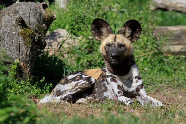 ZOO Dvůr Králové chce obnovit chov psů hyenových