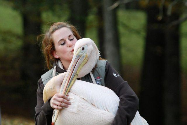 Odchyt pelikánů v ZOO Dvůr Králové nad Labem