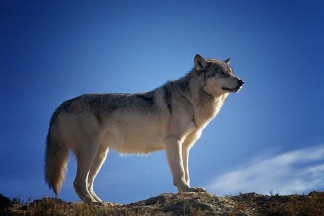 Vlk | foto:  tpsdave,   pixabay.com
