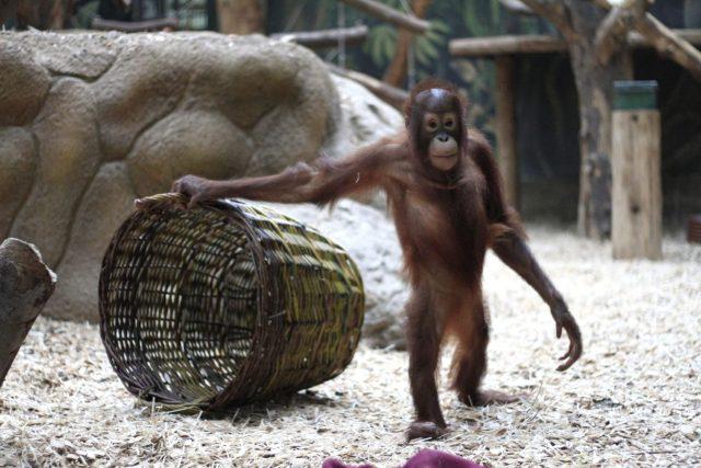 Orangutani v ZOO Dvůr Králové nad Labem