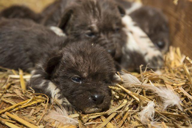 Mláďata psů hyenových v ZOO Dvůr Králové | foto: Lukáš Pavlačík