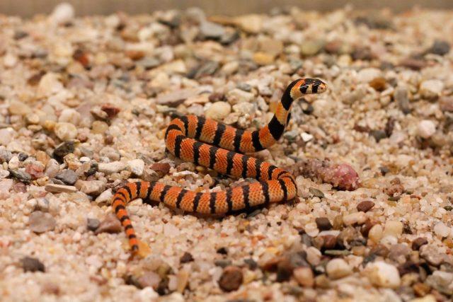 Lákají vás jedovatí hadi? Třeba takový kobřík páskovaný se hodí pro domácí chov | foto: Lukáš Pavlačík