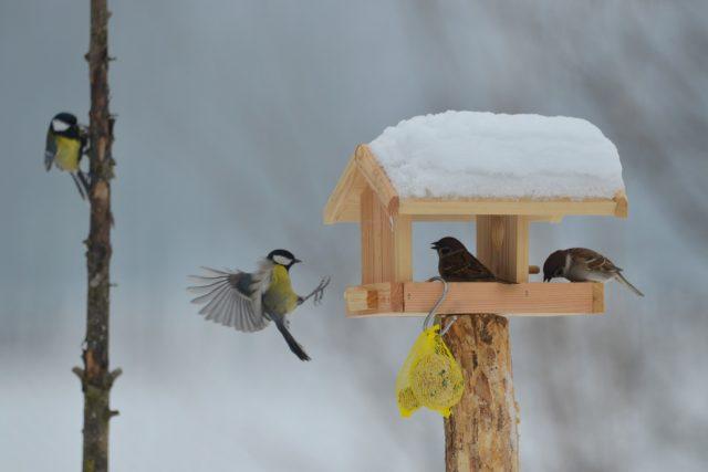 Kdo z koho, vrabci versus sýkory