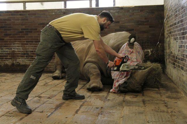 Ve Dvoře Králové odstraňují nosorožcům rohovinu. ZOO tak chce ochránit své svěřence