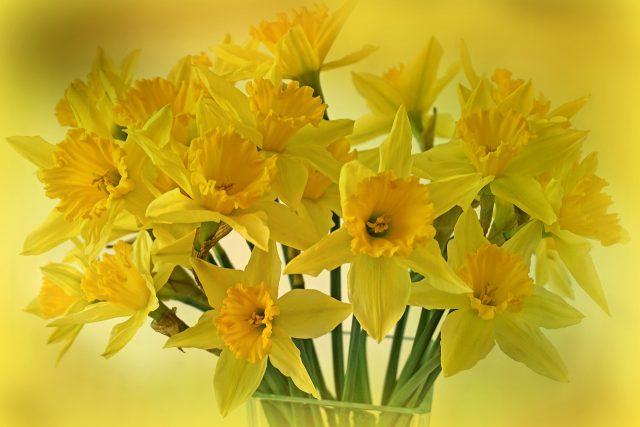 Narcisy a jaro